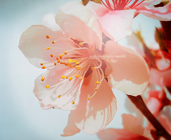 Cherry Blossoms No.1 by Sx2