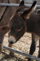 Baby Donkey by Vero-Light