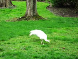 The White Peacock by csibecsont