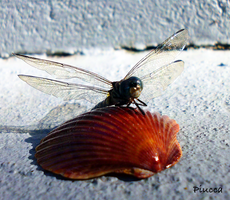 DragonFly Shell 2 by Piucca