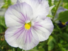 Pansy II by robynx13