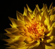Conflagration Dahlia by TruemarkPhotography