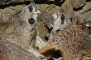 Meerkat Play by lucky128stocks