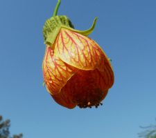 Abutilon . by duggiehoo