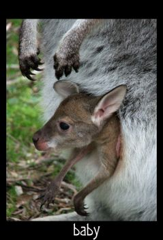 baby wallaby by nigelleitch