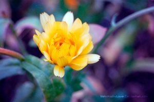 Yellow flower by NekoKisshuLover