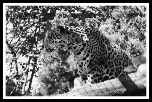 Amur Leopard 4 by Littlegothickitty