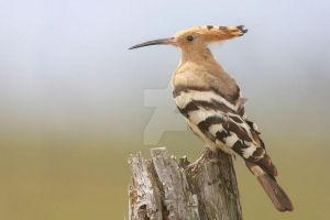 The Enigmatic Hoopoe by Jamie-MacArthur