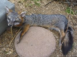 Gray Fox Soft Mount by Tricksters-Taxidermy