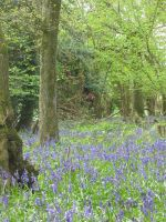 Bluebell forest by Jezhawk-stock