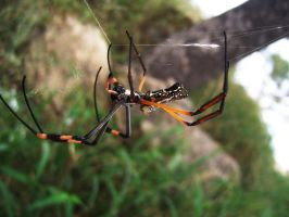 Giant Golden orb Spider by crimsonsun1902