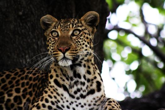 Leopardess : Africa 26 by shrimpeth