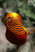 Chinese golden pheasant by Gothic-Enchantress