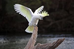 Sulphur Crested Cockatoo 16 by aussiegal7