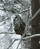 Northern Spotted Owl by CommodoreHorton