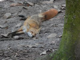 Tired Foxy by magranger16
