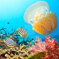 Butterflyfishes and jellyfish by MotHaiBaPhoto
