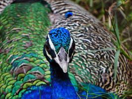 PeaCock Blues by Jac888