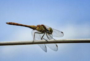 dragonfly on the clothesline by Tjabula