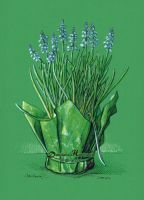 Grape hyacinth by dh6art