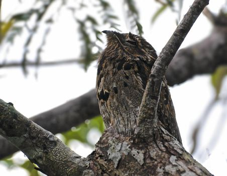 Invisible Potoo by thankyoujames