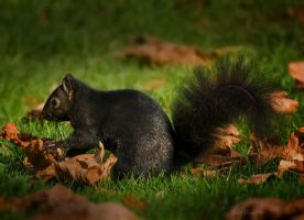 Black Squirrel by Violet-Kleinert