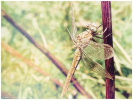 R- Photo .X - Dragonfly by demeters