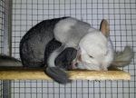 Chinchilla: family nap! by lilchilla21