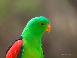 Portrait of a Parrot by FireflyPhotosAust