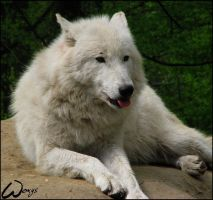 Arctic wolf might be rude by woxys