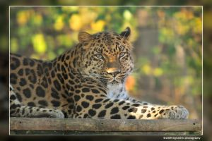 Leopard 3321 by mgroberts