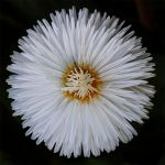 flower 144 by EphemeralMind