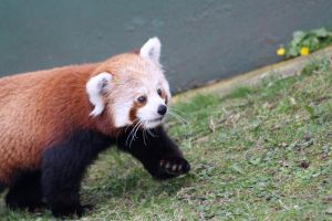 Red Panda 03-11 by Cilmeron