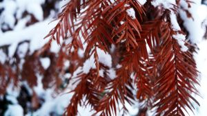 Red needles under snow by estel28