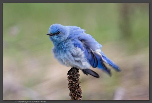 Mountain Bluebird (male) 3 by kootenayphotos