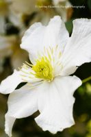 White Clematis by Hitomii
