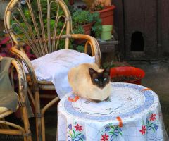 Asturian cat on the table by Jorapache