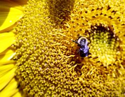 Bee and Sunflower2 by photozz