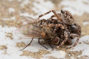 Jumping Spider Courtship by Alliec