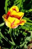Red And Yellow Tulip II by LDFranklin