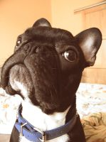 French Bulldog 2 by DaveKurri