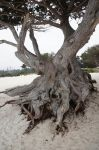 Tree 4 , Carmel-by-the-Sea,California by SweediesArt
