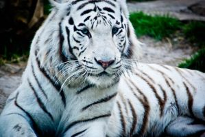 white tiger by xthumbtakx