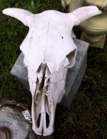 Cow Skull 1 by Falln-Stock