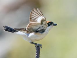 Lift off - Woodchat Shrike by Jamie-MacArthur