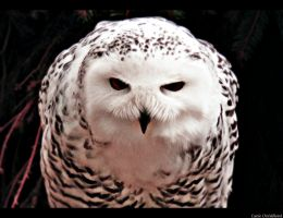 Hedwig by Lucie-Lilly