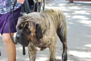 English Mastiff by xxtgxxstock