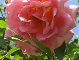 Heart of the rose by Eliwaz