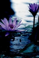 Water Lilly 14 by Art-Photo