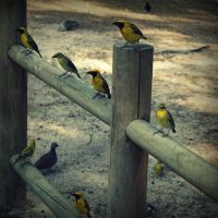 Yellow birds by lostknightkg